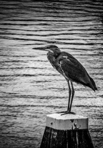 Heron Keeping Watch